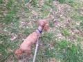 愛犬『マーキュリー』散歩。